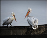 Two pelicans on an old boat