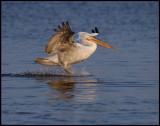 Immature Dalmatian landing on Lake Kerkini