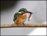 Wintering Kingfisher with small Perch- Växjö