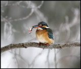 Kingfisher with small Perch - Växjö