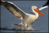 Landing Dalmatian Pelican