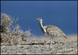 Houbara Bustard - Pared Plains / Fuerteventura