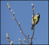 Spring is in the air - Blue Tit in Växjö