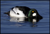 Male Goldeneye looking after his female - Trönninge