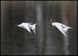 Common Tern shaking water after diving - S.Bergundasjön (2 pictures)