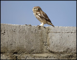 Little Owl on a house - Syria