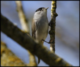 Male Blackcap with tick near his right eye - Trönninge