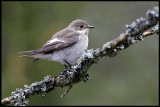 Female Pied Flycatcher just arrived to Sweden - Utlängan