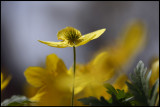 Yellow Anemone (Gulsippa) Anemone ranunculoides - Öland