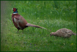 I follow you Master Pheasant.....