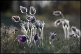 European Pasque Flower (Anemone pulsatilla) - Öland
