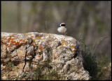 Black-eared Wheatear (Oenanthe hispanica) - Syria