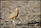 Cream-colored Courser (Cursorius cursor) - Beautiful bird with spectacular name....