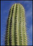 Cactus - Fuerteventura