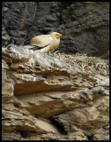 Egyptian Vulture (Neophron percnopterus) on nest - Fuerteventura