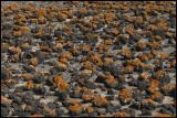 Orange lichen om lava stones - Fuerteventura