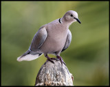 Eurasian Collared Dove (Streptopelia decaocto) - Fuerteventura