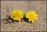 Desert flowers - Fuerteventura Canary Islands