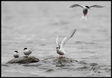 Common Terns - Växjö