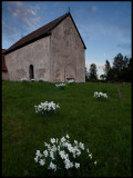 Hemmesjö old church (12th century) with White Narcissus