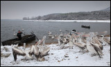 Young pelicans eager to get food on a cold snowy morning