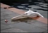 Young Dalmatian Pelican in Kastoria harbour