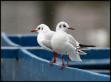 Black-headed Gulls - Lake Kastoria