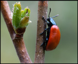 Aspglansbagge (Chrysomela populi) - Vikensved