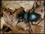 Carabus beetle (Parklöpare) with three Acarina (kvalster) - Vikensved