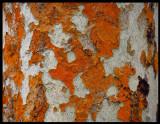 Lichen on tree near Cete Cidades