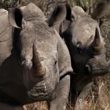 Hippos Rhino Elephants and Crocs