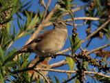 800sparrow7aP4084372.jpg