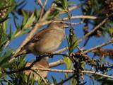 800sparrow8aP4084373.jpg