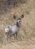 2007 White Mule Deer Fawn