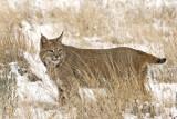 bobcat 0628
