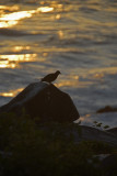 Galapagos Dove Silhouette