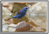 Blue Grosbeak (Male)