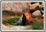 Painted Bunting Bathing