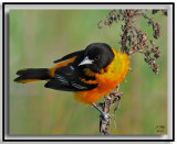 Orioles Blackbirds Meadowlarks