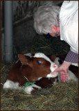 Sucking Calf
