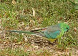 Red-Rumped Parrot - Male