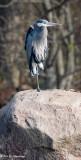 Resting heron