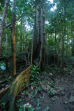 15 Buttress roots 0960w