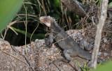 15 Iguana 1645