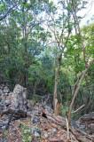 15 Dry forest jungle, Douglas Bay Battery 2098