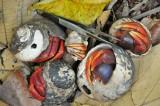 15 Hermit crabs 2168