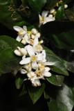 15 Orange blossoms 2245
