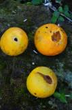 15 Parrot damaged citrus 2309