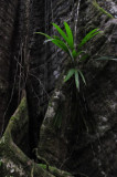 15 Bromeliad on buttress roots 2480