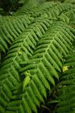 16 Tree fern 1224w